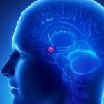 בלוטת האיצטרובל במוח